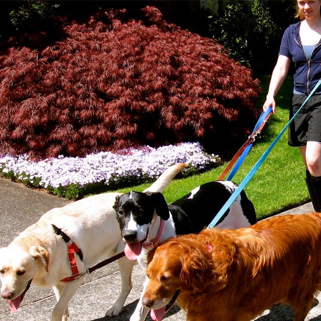 TC Pet Sitting - 3 dogs on a walk