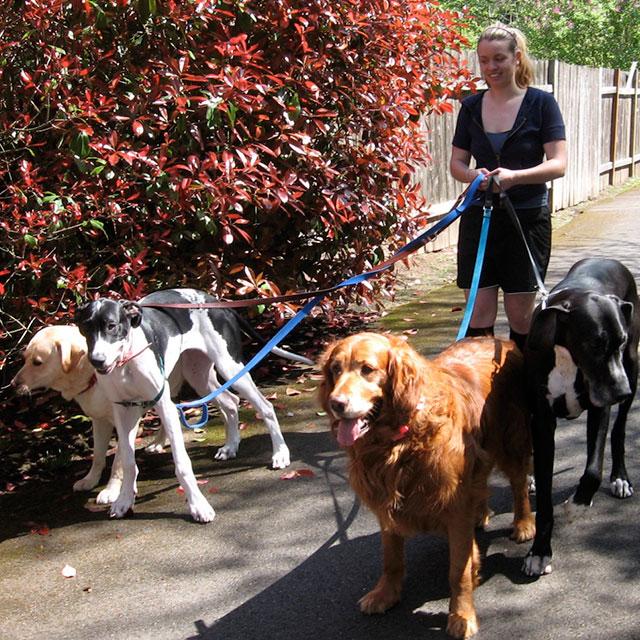 TC Pet Sitting - 4 Dogs on a walk