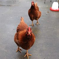Town and Country Pet Sitting chickens