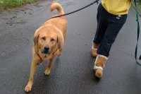 Town and Country Pet Sitting dog on a walk